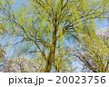 新緑 枝垂れ柳 柳の写真 20023756