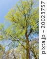 新緑 枝垂れ柳 柳の写真 20023757