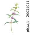 ハッカ ハーブ 植物のイラスト 20031011