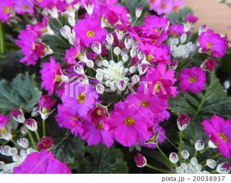 春を呼ぶ花の一つ。花言葉には「永遠の愛」もある。恋人へのプレゼントにも最適である。 20038937