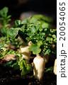 蘿蔔 大根 春の七草の写真 20054065