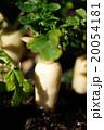 蘿蔔 大根 春の七草の写真 20054181