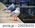 ユリカモメ 20056450