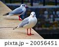 ユリカモメ 20056451
