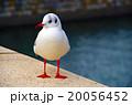 ユリカモメ 20056452