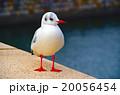 ユリカモメ 20056454
