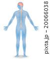 人間の神経系統図 ベクターイラスト 20066038