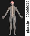 人間の神経系統図 ベクターイラスト 20066039