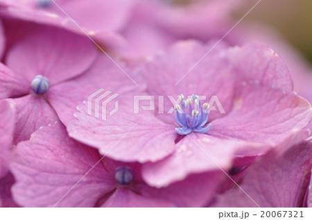 紫陽花ザ・クリスマス 20067321