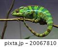 パンサーカメレオン 20067810