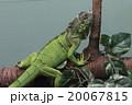 グリーンイグアナ 20067815