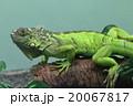 グリーンイグアナ 20067817