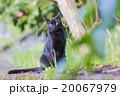公園の黒猫 20067979