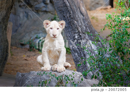 Cute baby white lion on the rock