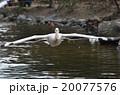 ペリカン モモイロペリカン 鳥の写真 20077576