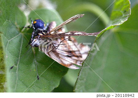 ボリビアの蝶 蜘蛛に捕食される 20110942