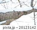 木に積もった雪 20123142