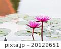 緑 ハス 蓮の写真 20129651