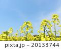 菜の花(空バック) 20133744