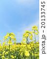 菜の花(空バック) 20133745
