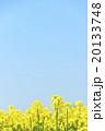 菜の花畑と青空 20133748