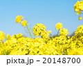 菜の花のクローズアップ 20148700