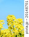 菜の花のクローズアップ 20148701