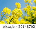 菜の花のクローズアップ 20148702