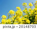 菜の花のクローズアップ 20148703