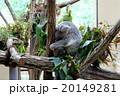 木の上で寝るコアラ 20149281