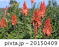 アロエの花 20150409