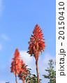 アロエの花 20150410