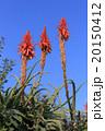 アロエの花 20150412