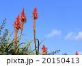 アロエの花 20150413