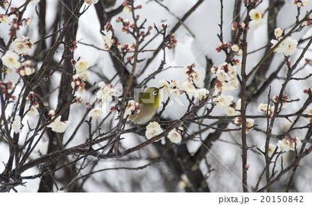 梅の花とメジロ 20150842