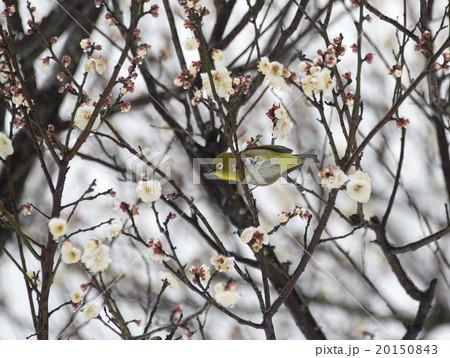 梅の花とメジロ 20150843