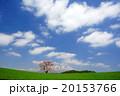 小岩井農場 一本桜 桜の写真 20153766