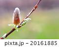 ネコヤナギの花と新芽 20161885