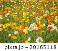 ポピー畑 20165118