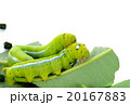 caterpillar of butterfly on leaf isolated 20167883