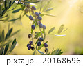 Olive tree with fruits 20168696