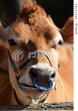 牛の顔・アップ 20175761