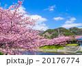桜 早咲き 河津桜の写真 20176774