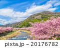 桜 早咲き 河津桜の写真 20176782