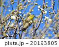 梅の花とメジロ(N) 20193805