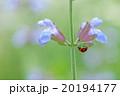 てんとう虫とセージの花 20194177