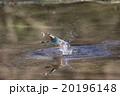 カワセミ 鳥類 池の写真 20196148