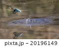カワセミ 鳥類 池の写真 20196149
