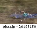 カワセミ 鳥類 池の写真 20196150