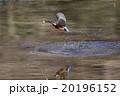 カワセミ 鳥類 池の写真 20196152